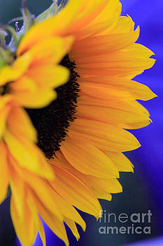 Side view of a sunflower by Deborah Benbrook