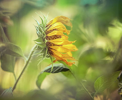 Sideway Sunflower by Debi Bishop