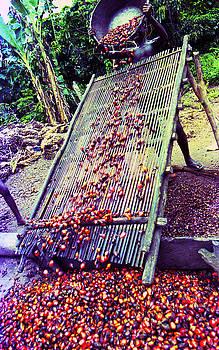 Muyiwa OSIFUYE - Sieving Palm Kernel fruits