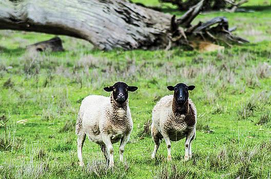 Silence Of The Umm Sheep 2  by Naomi Burgess