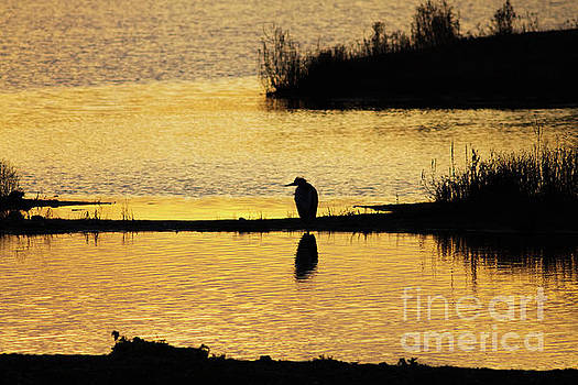 Silhouette of a Grey or Gray Heron - Ardea cinerea - in wetland we by Paul Farnfield