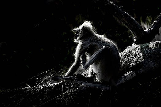Silhouette of a monkey by Pravine Chester
