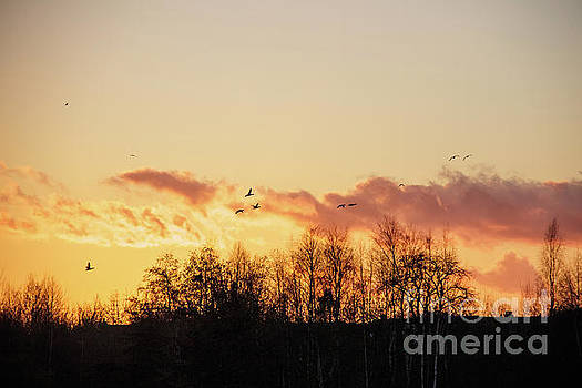 Silhouette of birds wildfowl geese flying off to roost at sunset by Paul Farnfield