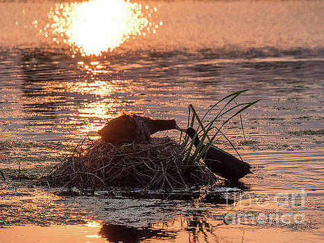Silhouette of nesting Coots - Fulica atra - at sunset on golden po by Paul Farnfield