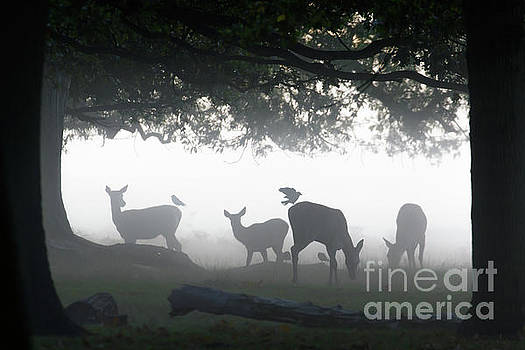 Silhouette of Red Deer - Cervus elaphus -  hinds or females grazin by Paul Farnfield