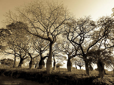 Silk floss trees in sepia by Helissa Grundemann