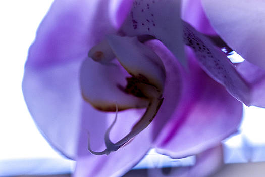 Silk Orchid by Sheree Lauth
