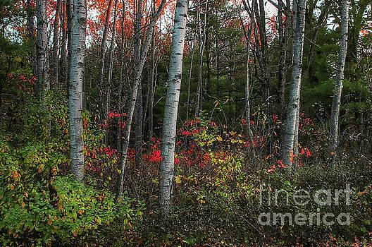 Silver Birch in Autumn by Randy Pollard