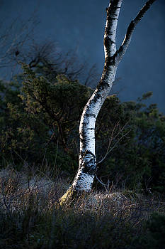Silver Birch by Roger Lever