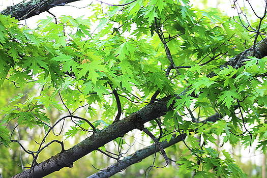 Silver Maple in Spring by Bethany Benike