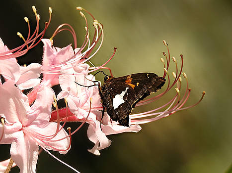 Silver Spotted Skipper by William Tanneberger