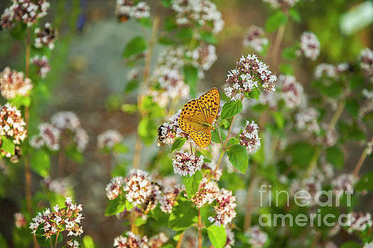 Sophie McAulay - Silver-washed Fritillary butterfly
