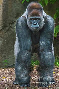 Silverback Gorilla by Andrew Michael