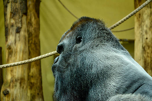 Silverback Gorilla by Ingrid Dendievel