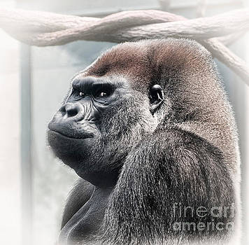 Silverback lowland gorilla checking you out by Linda Matlow