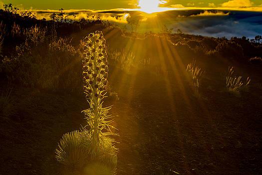 Don Mitchell - Silversword Sunrise