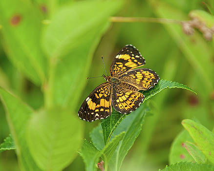 Silvery Checkerspot Butterfly by Lara Ellis