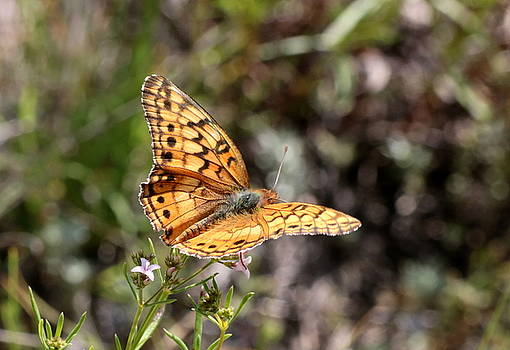 Silvery Checkerspot Butterfly on Wildflower 2 by Sheila Brown