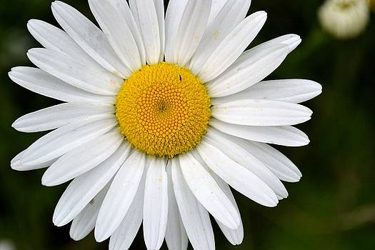 Simple Daisy by Robin White