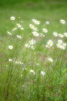 Darlene Bell - Simply Dreamy Daisies
