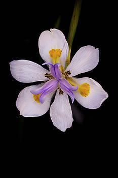 Simply Iris by Vanessa Thomas
