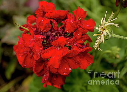 Simply Red by Reynaldo Brigantty