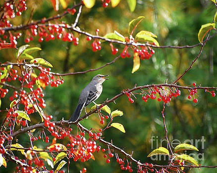 Singing For His Supper - Northern Mockingbird in the Berries by Kerri Farley