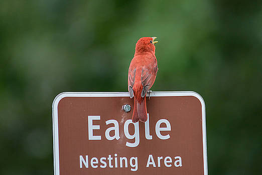 Singing Summer Tanager On Eagle Nesting Area Sign Shiloh Tennessee 052120152601 by WildBird Photographs