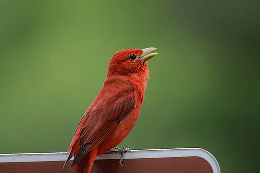 Singing Summer Tanager Shiloh Tennessee 052120152646 by WildBird Photographs