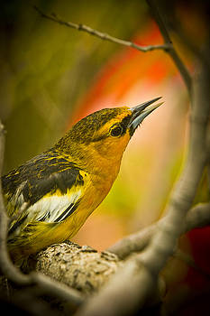 John Tarr Photography  Visual Adventurer - Singing Yellow Finch on a Branch