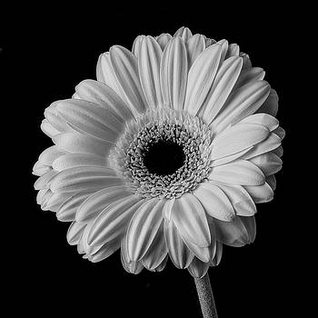 Single Black And White Daisy by Garry Gay