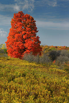 Reimar Gaertner - Single bright red Maple tree in a field of Goldenrod on Heart La
