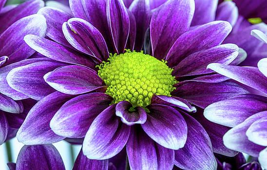 Single Chrysanthemum by Greg Thiemeyer