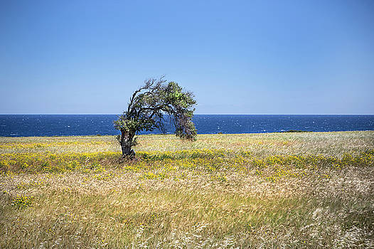Single Cypriot Tree by David Hare