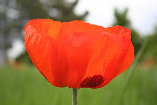 Single Poppy by Susan Pedrini