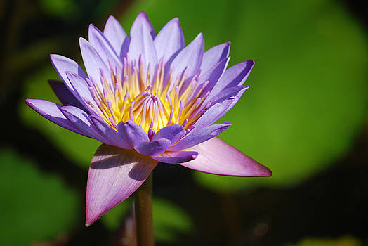 Heather Kirk - Single Purple Water Lily Number One