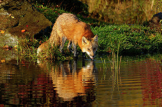 Reimar Gaertner - Single Red Fox drinking at the banks of a river on an Autumn mor