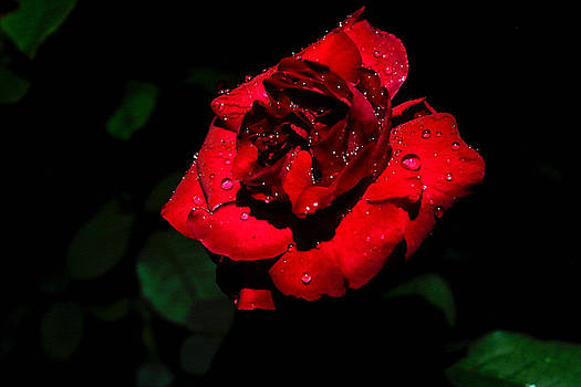 Single Red Rose With Water Drops by L L