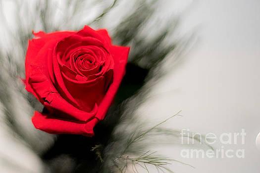 Single Rose by Selim Aydin