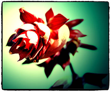 Single Salvia by Kori Creswell