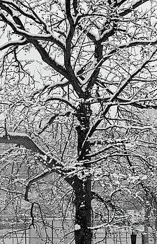 Single Snow Covered Tree Black and White by Nishanth Gopinathan