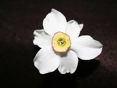 Single Spring Flower by Susan Pedrini