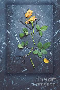 Single Stem Rose by Amanda Elwell
