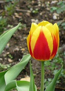 Single Tulip by Camera Candy