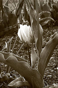 James Steele - Single Tulip Sepia