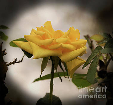 Single Yellow Rose 2 by Diane Friend