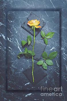 Single Yellow Rose by Amanda Elwell
