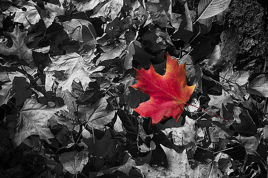 Singled Outed Maple Leaf by Daphne Sampson