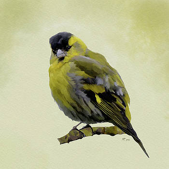 Siskin - Carduelis Spinus by Bamalam  Photography