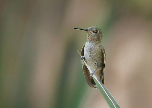 Sittin pretty hummingbird by Ruth Jolly